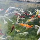 Вот они какие, храмовые рыбы